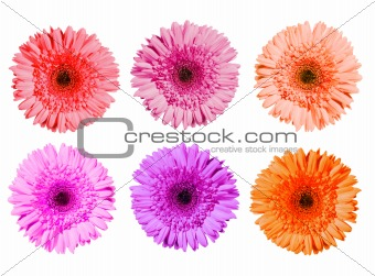Three gerbera flowers of pink colors isolated on white backgroun