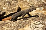 Arizona chuckwalla lizard next to a petroglyth
