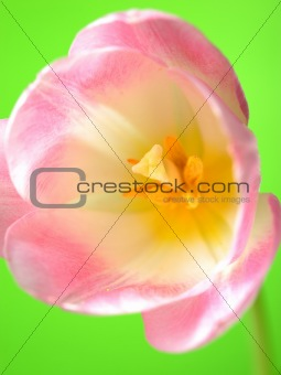 Beautifu spring pink tulip flower over light green background