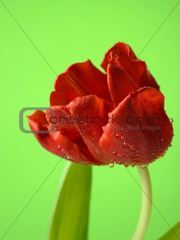 Beautiful red tulip flower over light green background