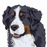 vector Bernese Mountain Dog breed