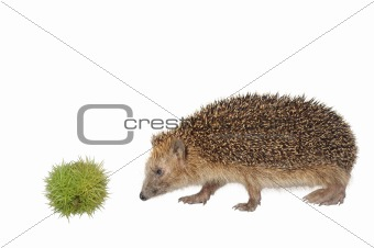 chestnut hedgehog