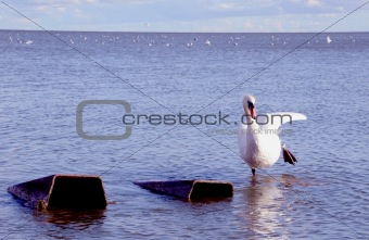 white swan in the sea bay
