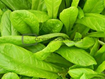 Green lettuce leafs