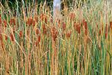 Bulrushes with yellow herb and brown fruit