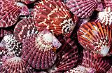 Colorful scallop shells