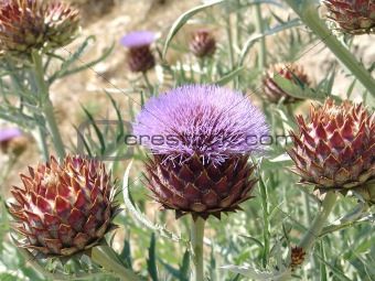 Close up of artichoke flower.