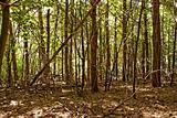 Wild pine forest