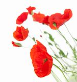 Poppies isolated on white background / focus on the foreground