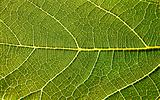 Fig Leaf Close-up
