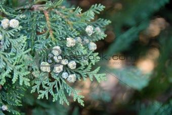Green thuja branch