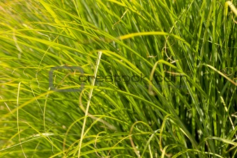 Prairie Drop seed Ornamental Grass