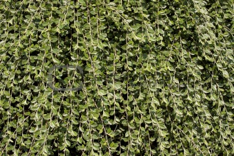Climbing Vines Background