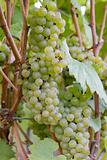 Bunches of White Wine Grapes