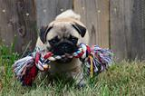 Pug with chew toy