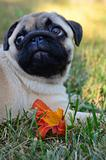 Pug Caught in the act