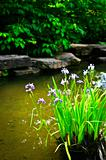 Purple irises in pond