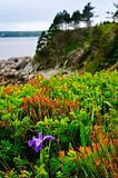 Blue flag iris flower at Atlantic coast