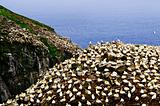Gannets at Cape St. Mary's Ecological Bird Sanctuary