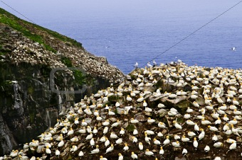 Gannets at Cape St. Mary&#39;s Ecological Bird Sanctuary