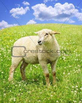 Cute young sheep