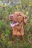 Happy Looking Vizsla Dog with Wild Flowers