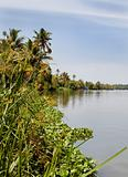 tall reed grass banks Kerala Backwater