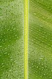 Wet banana leaf series V