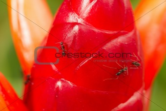 ant and heliconia button