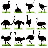 Ostrich silhouettes set