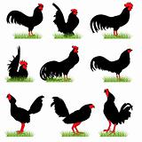 Roosters set