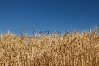 Wheat Grass Field Against Blue Sky