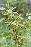 Hazel bush