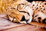 Cute young acinonyx jubatus resting