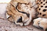 Young acinonyx jubatus resting