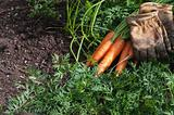 Carrots just pickerd and ready to eat and work gloves