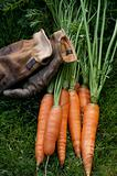 Carrots ready to eat and work gloves