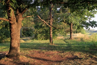 Three oaks in the morning sunbeams