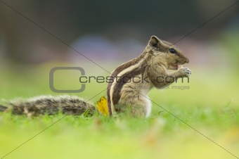 common indian squirrel with natural green background