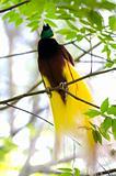 Lesser Bird of Paradise or Paradisaea minor.