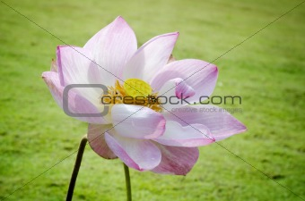 symmetrical lotus for conceptual photo