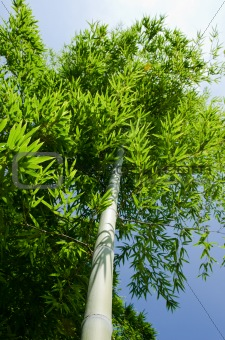 Green bamboo tree