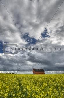 Canola Crop Canada