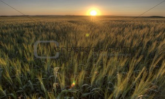 Prairie Grass Crop Sunset