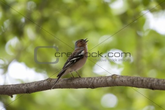 A male chaffinch (Fringilla coelebs) singing