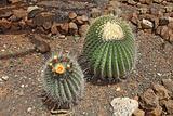 Flowering cacti in a garden