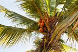 orange fresh coconut tree