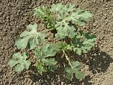 watermelon plants
