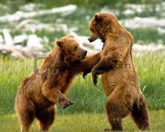 Alaskan Grizzly Bears fighting