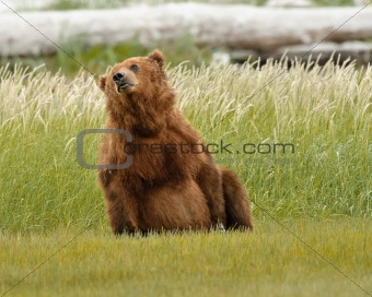 Alaskan Grizzly Bear